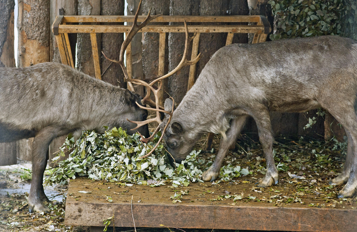 Аукцион по строительству вольера для северных оленей признали не состоявшимся